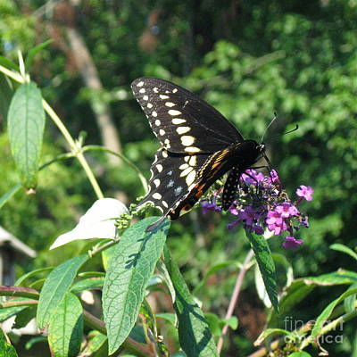 Photograph - Visit From A Black Swallowtail by Nancy Patterson