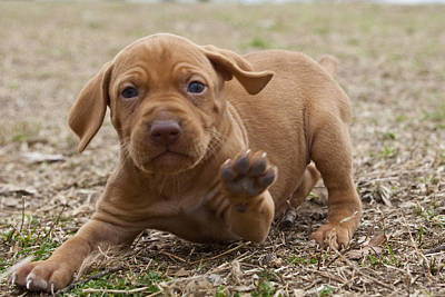 Photograph - Vizsla Pup by Jim  Arnold