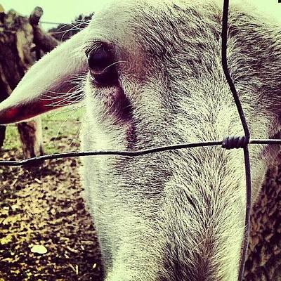 Sheep Photograph - ...vs Tribute by Rui Marques