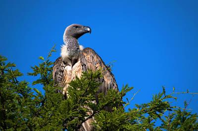 Photograph - Vulture - Vautour by Michel Legare