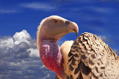 Vulture Wall Art - Photograph - Vulture by Alessandro Matarazzo