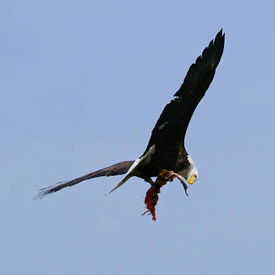 Photograph - Wa-6-12-neah Bay-eagle2 by Diana Douglass