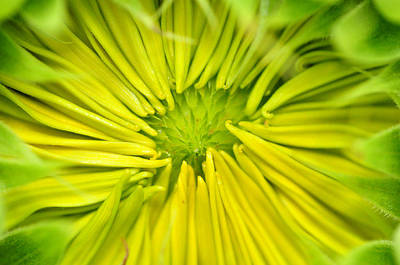 Photograph - Waking Sunflower by Glenn Gordon