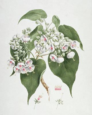 Walkuffa No.5 Dombeya Torrida  Art Print