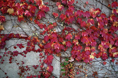 Photograph - Wall Of Red Leaves by Lorraine Devon Wilke
