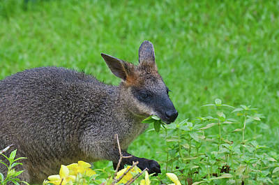 Photograph - Wallaby by Harry Strharsky