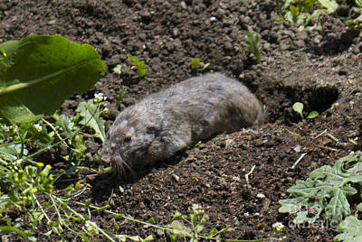 Photograph - Walmer The Pocket Gopher by Donna L Munro