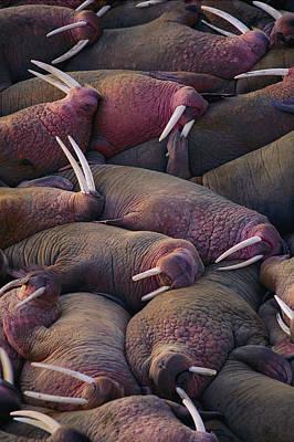 Walruses On The Beach Art Print by Joel Sartore