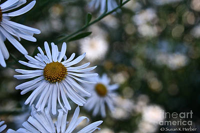 Photograph - Waning Daisies by Susan Herber