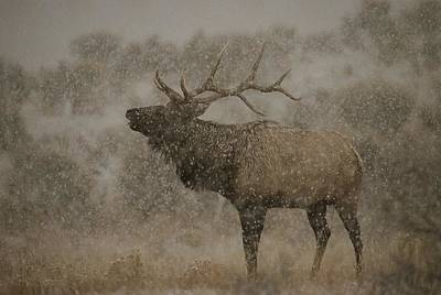 Natural Forces Photograph - Wapiti, Or Elk, Male Amidst Falling by Norbert Rosing