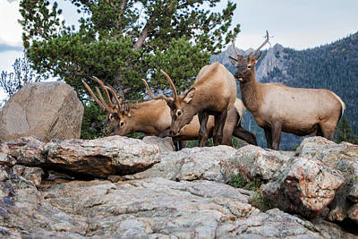 Photograph - Wapiti by Ronald Lutz