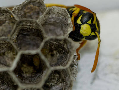 Photograph - Wasp Nest by Dean Bennett
