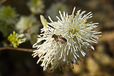 Outerspace Patenets Rights Managed Images - Wasp on Fothergilla 3 Royalty-Free Image by Douglas Barnett