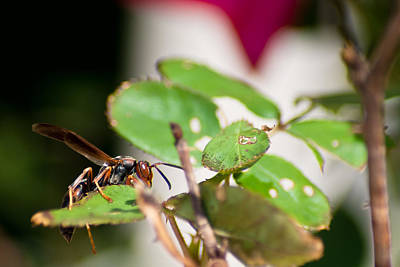 Photograph - Wasp On Roses by Jason Heckman