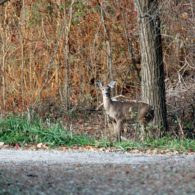 Chicago Photograph - Watch Deer by LeeAnn McLaneGoetz McLaneGoetzStudioLLCcom