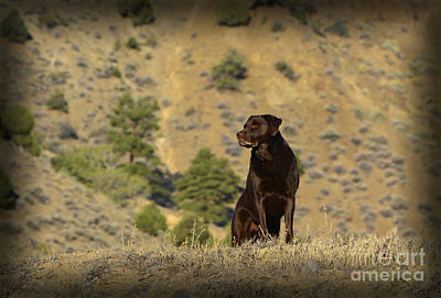 Photograph - Watchful Chocolate Labrador Retriever by Donna Greene