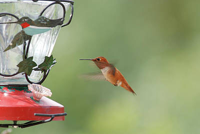 Watchful Rufous Art Print