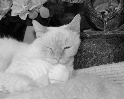 Flame Point Siamese Photograph - Watchful Slumber by Connie Levien