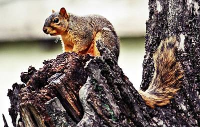 Photograph - Watchful Squirrel by KayeCee Spain