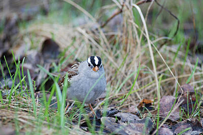 Watchful White Crowned Sparrow Print by Jan Piet