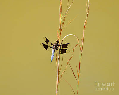 Blue Dragon Fly Photograph - Watchful Whitetail by Al Powell Photography USA