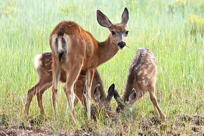 Mule Deer Fawn Photograph - Watching Over The Young by James Marvin Phelps