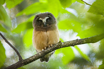 Northern Saw-whet Owl Photograph - Watching The World by Tim Grams