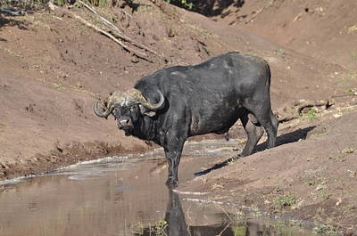 Photograph - Water Buffalo by Joe  Burns