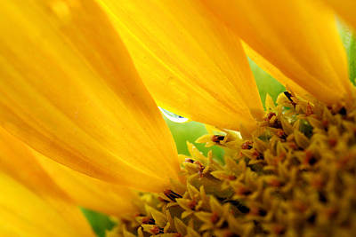 Photograph - Water Droplet On Sunflower Petal by Van Corey