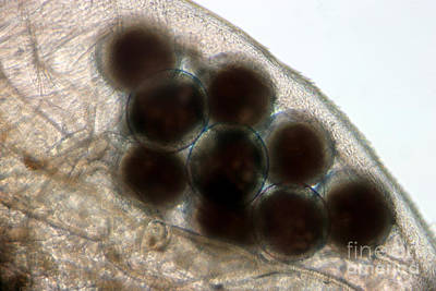 Daphnia Photograph - Water Flea Daphnia Magna Eggs by Ted Kinsman
