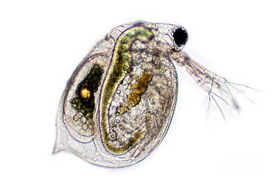 Daphnia Photograph - Water Flea, Lm by Ted Kinsman
