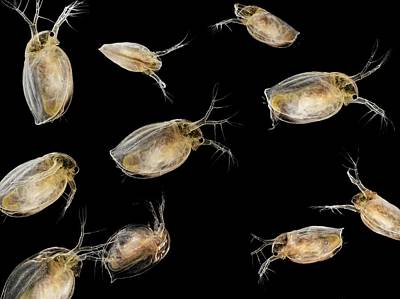 Daphnia Photograph - Water Fleas by Laguna Design