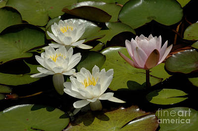 Photograph - Water Lilies 2 by Bob Christopher