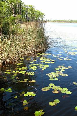 Photograph - Water Lilies At Watermark by Carla Parris