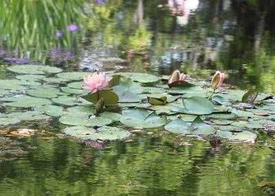 Photograph - Water Lilies Brookgreen Gardens by Jeanne Kay Juhos