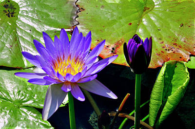 Photograph - Water Lillies by Helen Haw