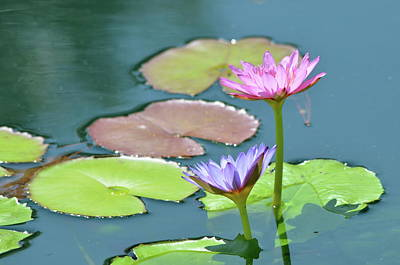 Water Lillies Of A Different Color Art Print by Kathy Gibbons