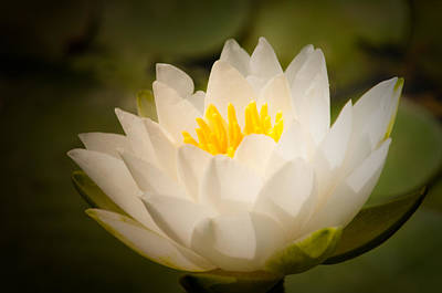 Photograph - Water Lilly by Craig Leaper