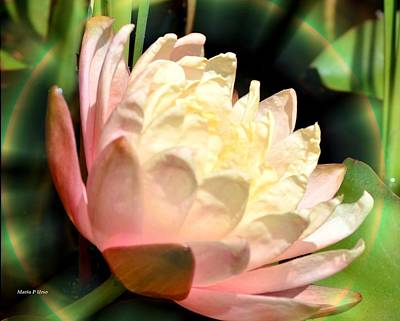 Water Lilly In Bloom Art Print by Maria Urso