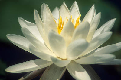 Water Lilly Art Print by Lee Amerson