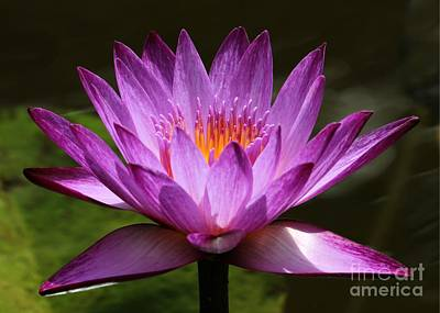 Photograph - Water Lily Blossom by Sabrina L Ryan