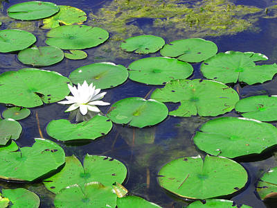Art Print featuring the photograph Water Lily by Clara Sue Beym