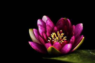Stamen Photograph - Water Lily In Pond On Dark Background by Alexandre Fundone