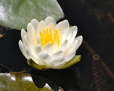 Art Print featuring the photograph Water Lily by Mary McAvoy