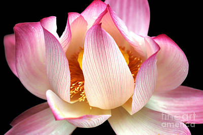 Photograph - Water Lily On Black by Nola Lee Kelsey