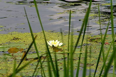 Water Lily On The River Art Print