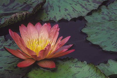 Photograph - Water Lily by Ralph Fahringer