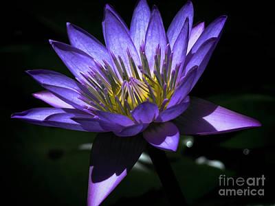 Water Lily  Reveal Art Print by Karen Lewis