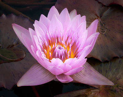 Photograph - Water Lily by Steve Zimic