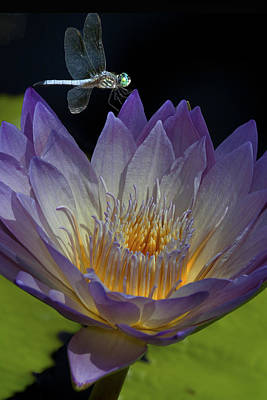 Water Lily With Dragonfly Art Print by Jeff Grabert
